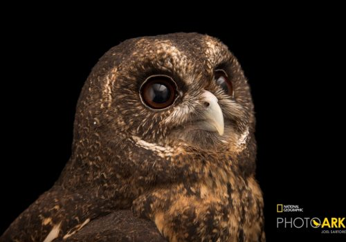 A mottled owl, Ciccaba virgata, at the Monticello Center in Italy.